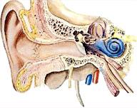 Corte transversal del oído